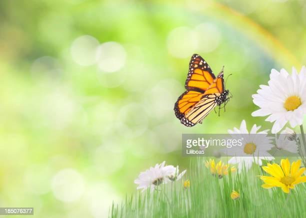 As margaridas e uma Borboleta-monarca