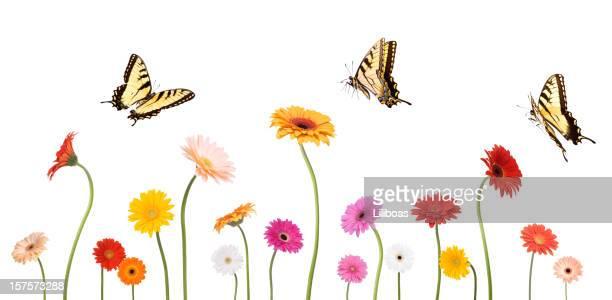 Daisies et des papillons