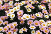 Daisies are presented at the annual Chelsea flower show on May 25 2010 in London England The Royal Horticultural Society flagship flower show has...