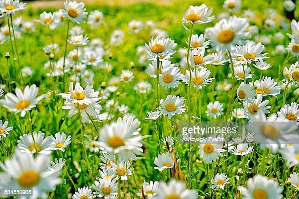 Daisies Blooming On Field