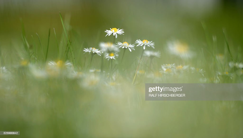 Daisies blossom on a field in Potsdam, eastern Germany, on April 29, 2016. / AFP / ZB AND dpa / Ralf Hirschberger / Germany OUT