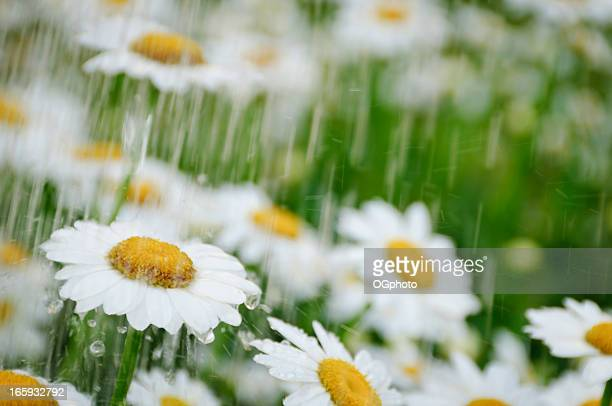Daisies during a spring shower