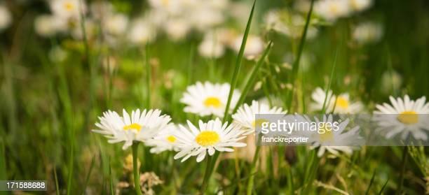 daisies field full of flowers in spring