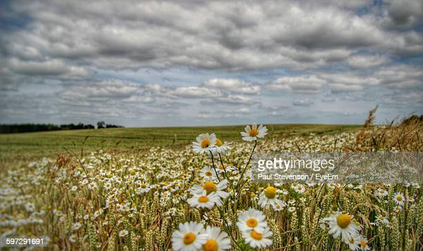 Daisies Growing On Field Against Cloudy Sky
