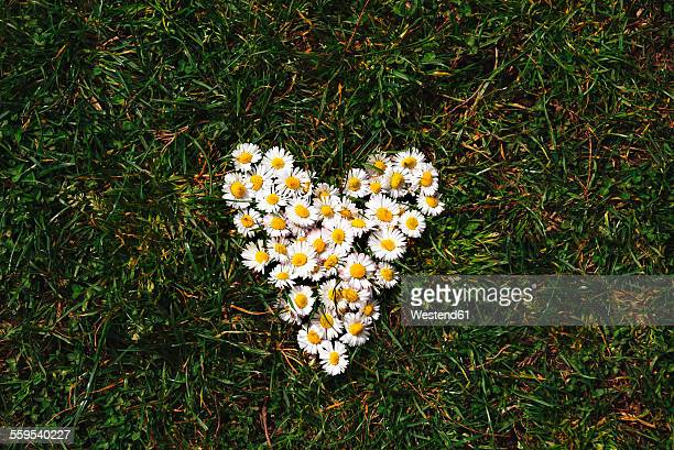 Daisies heart shaped on the grass in spring