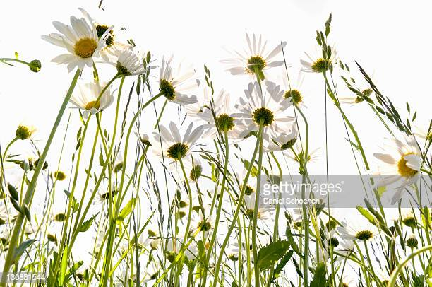 Daisies (Leucanthemum) in a meadow against the light