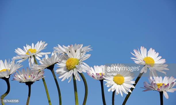 Daisies in a row