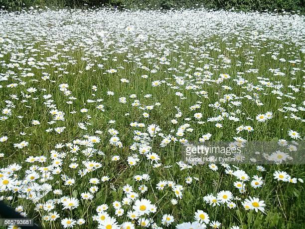 Daisies In Meadow