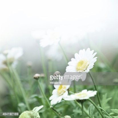 Daisies in the morning : Stock Photo