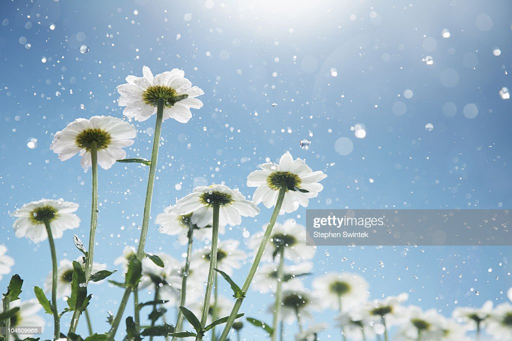 Daisies in the rain : Stock Photo