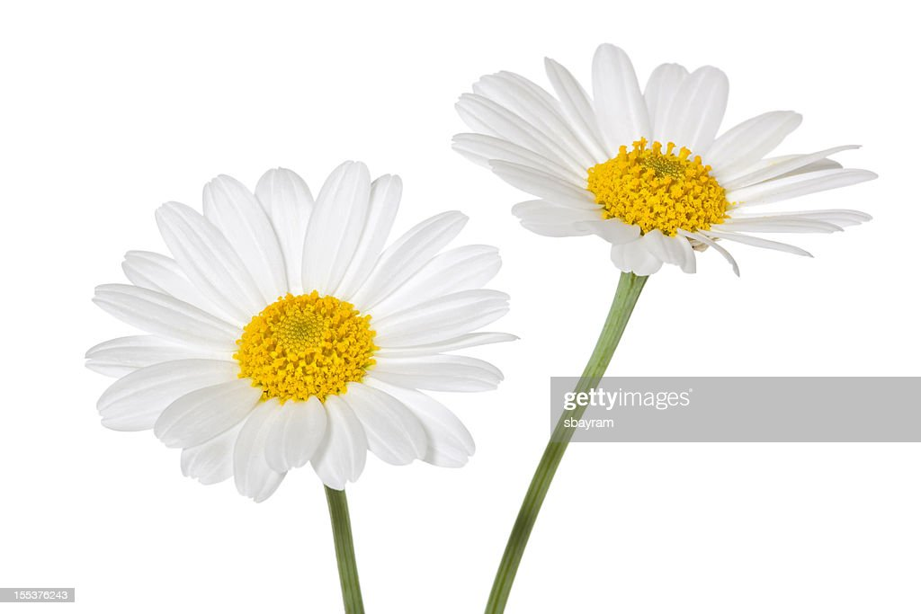Daisies isolated