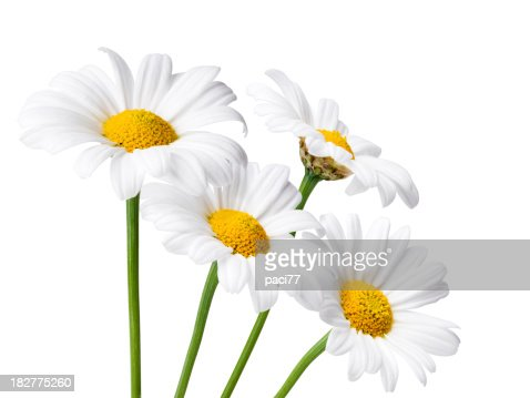 Daisies Isolated whit Clipping Path