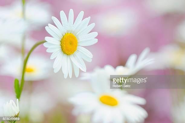Daisies -Leucanthemum-