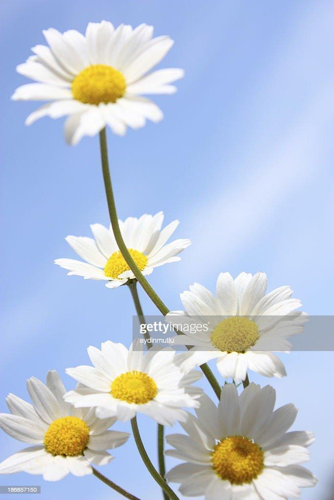 Daisies on a Blue Sky