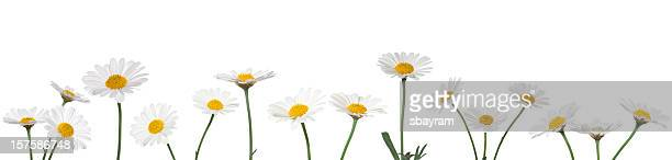 XXXL Daisies on white background