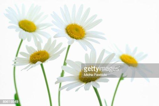Daisies : Stock Photo