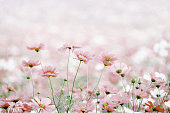 Close up on daisies in a flowery meadow, with bokeh background and pink canvas texture effect.