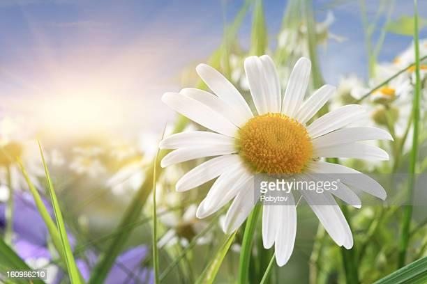 Daisy Close-Up In Sunlight