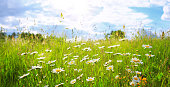 Summer landscape with daisy field and blue sky .