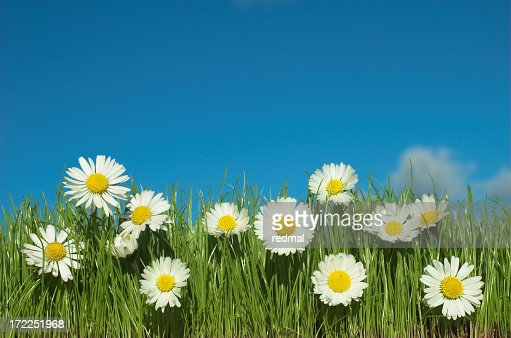Daisy field with blue sky and green grass