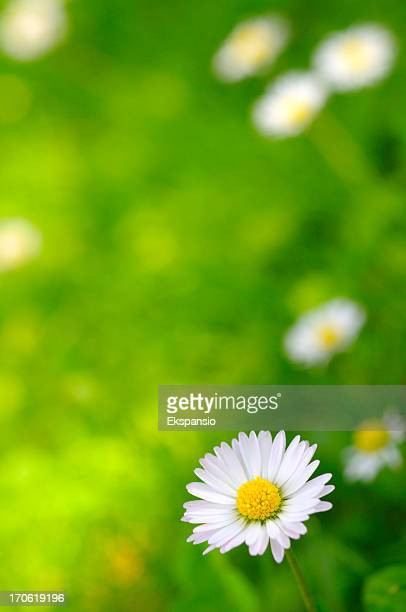Daisy Flower Abstract Background