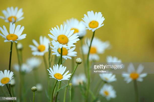 Daisy flower and defocused background