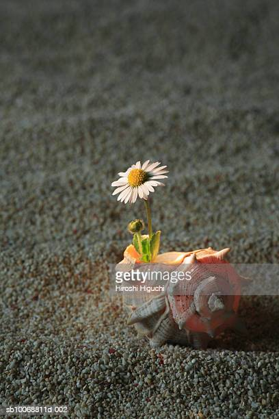 Daisy (Bellis perennis) flower growing in conch shell, studio shot