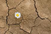 flower in the desert is dry land daisy