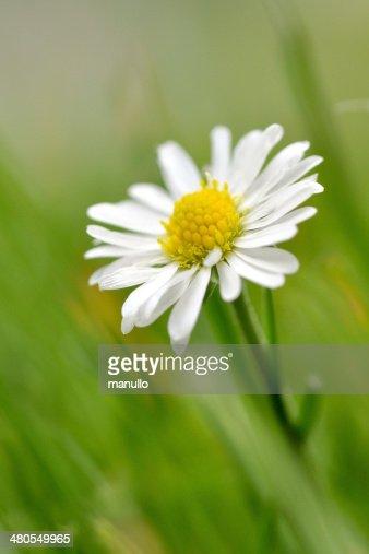 Daisy Flower : Stock Photo