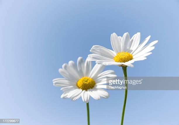 Daisy Flowers and blue sky