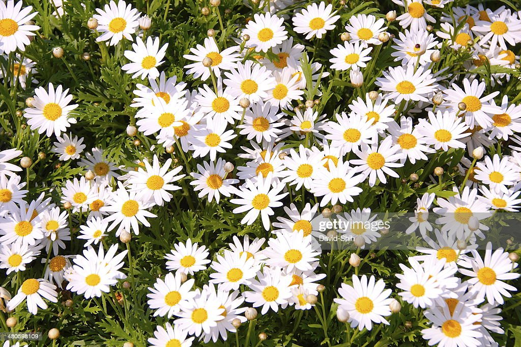 Daisy flowers : Stock Photo