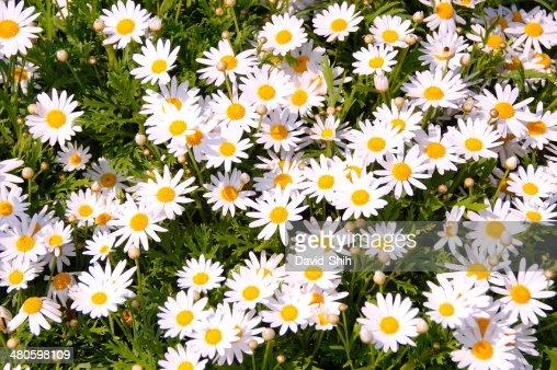 Daisy flowers : Stock Photo