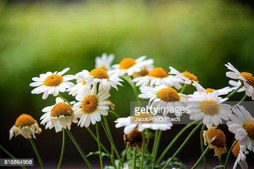 Daisy Group : Stock Photo