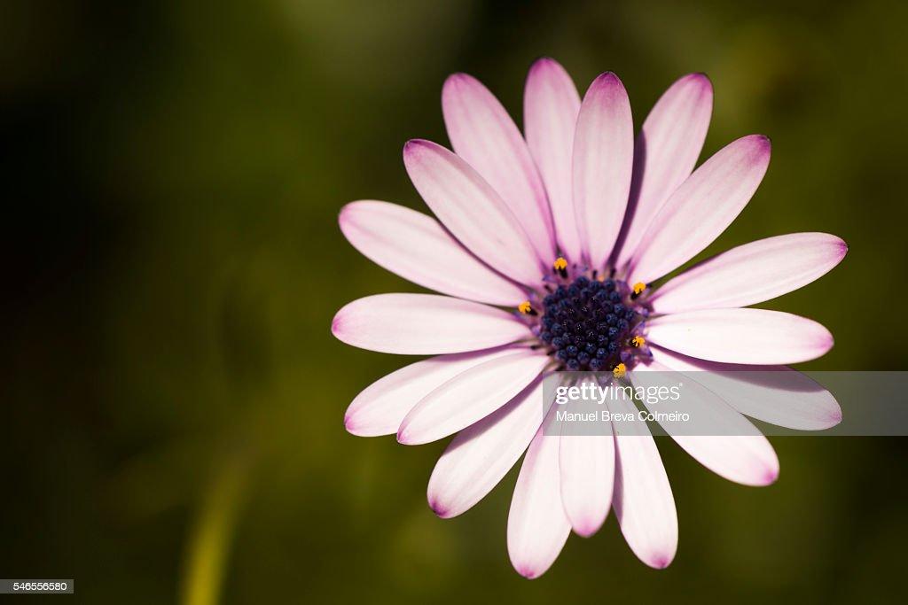 Daisy in bloom