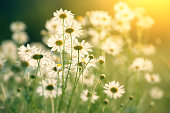 hey key photo of some chamomile in a field in sunshine. More versions: