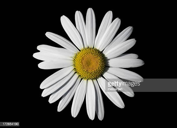 Daisy in the dark