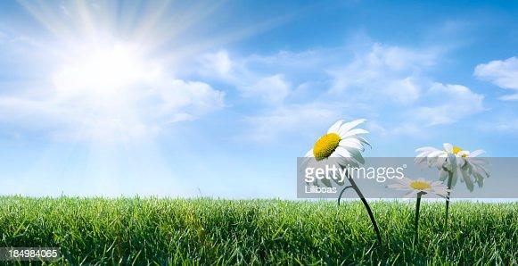 Daisy in the Summer