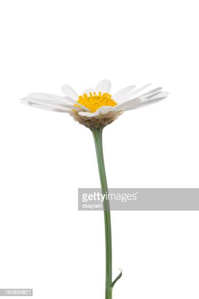 Marguerite isolé