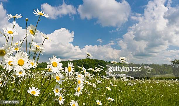 Daisy meadow summer pastoral