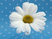 Daisy on blue