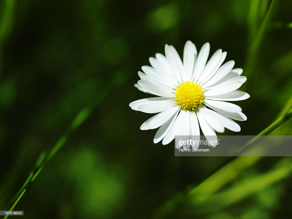 ?Daisy : Stock Photo
