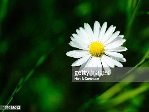 ?Daisy : Photo