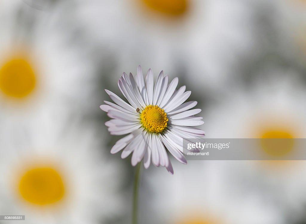 Daisy : Stock Photo
