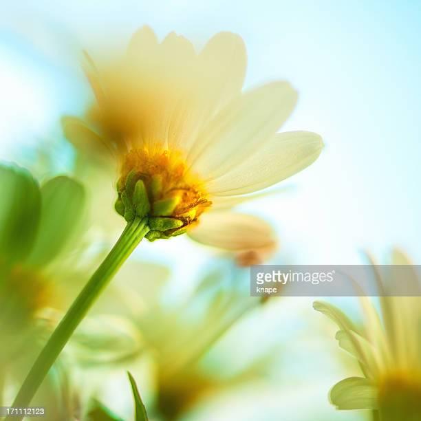 Daisy à atteindre le ciel
