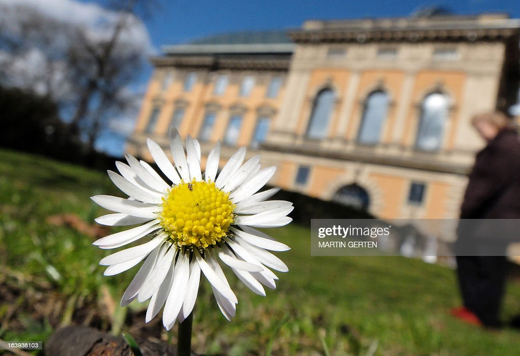A daisy stands in front of the Kunstsammlung Nordrhein-Westfalen museum in Duesseldorf, western Germany, on March 18, 2013. Temperatures in the city on the border of the river Rhine reached up to ten degrees Celsius.