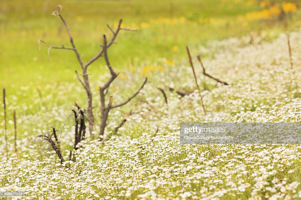 Daisy Wildflower Meadow Wilderness : Stockfoto