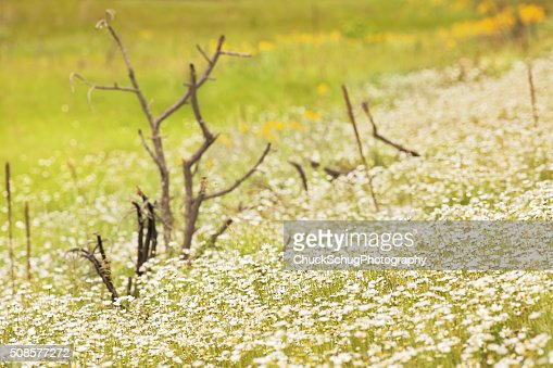 Daisy Wildflower Meadow Wilderness : Stock Photo
