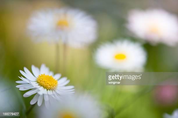 daisy avec flouté sur une verte Prairie de printemps