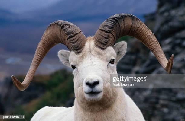 Dall Ram (Ovis dalli)., Alaska, United States of America, North America