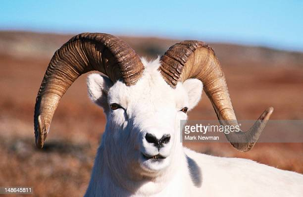 Dall Sheep (Ovis Dalli).